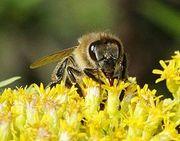 Натуральная пчелопродукция Тенториум в Харькове-мёд,  прополис,  перга.